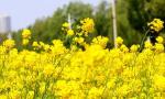 一份来自春天的邀请函 无锡农委邀当地市民同赏醉美油菜花