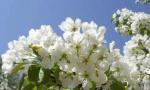 莱西市第四届梨花节15日开幕 市民可免费观看