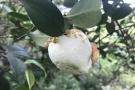 """千岛湖有种神奇野果""""茶桃"""" 专家称是植物病变不宜食用"""