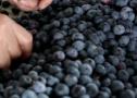 有機藍莓富農家
