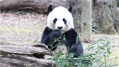 美国国家动物园熊猫馆全新亮相