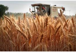 基因编辑技术让麦穗遇雨不易发芽 有望成高效品种改良技术