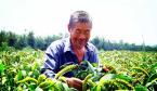 """河南叶县:""""托管式订单种植""""让农民笑弯了腰"""