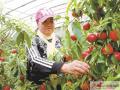 油桃颜色越红,果子就越好吃?睢宁皇冠园艺师告诉你