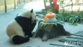 熊猫佑佑在黑龙江亚布力迎来9岁生日