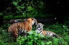 吉林省东部地区及周边生存着野生东北虎豹可繁殖种群