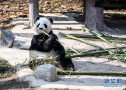 大熊猫尽享冬日暖阳