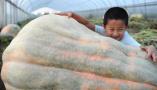 阜阳560斤巨型南瓜亮相 引市民围观