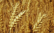 我国首个杂交小麦项目产业化基地在南阳邓州开工