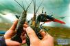 澳洲龙虾丰富新疆春节市场