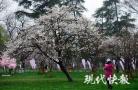 赏樱何必扎堆鸡鸣寺 玄武湖也有一场樱花盛宴在等你