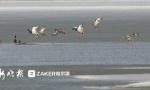 松花江哈尔滨段现几十只野鸭追逐嬉戏