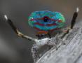 孔雀蜘蛛 迷人的美