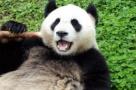 大熊猫面露笑容