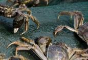 螃蟹降价啦!常州螃蟹批发价相比月初下跌四成