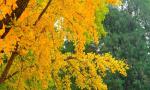 深秋染黄银杏叶