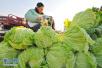 过冬菜集中上市 青岛白菜价格低至1.5元两斤