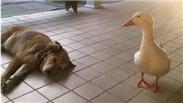 """不速之客 鸭子""""绊倒""""灰狗"""