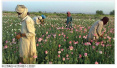 联合国报告:阿富汗鸦片生产增长87% 达创纪录水平