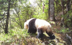 原始荒林探秘大熊猫