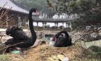 瘦西湖边刚出壳的黑天鹅萌翻了