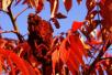 打造东部海岸靓丽名片 即墨将栽植2560亩红叶林