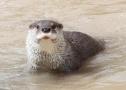 珍惜物种频现澜沧江源头地区 监测员近日记录到欧亚水獭活动影像