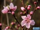 老山桃花提前绽放 传递春的气息
