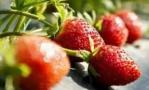 """种出""""莓""""好春天"""