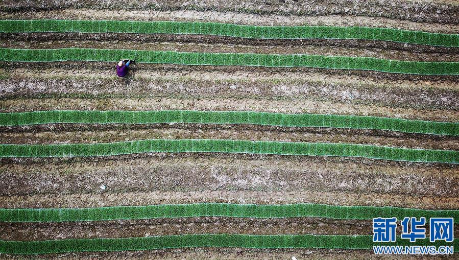 在江西全南县大吉山镇马坑村,种植户移栽秧苗(4月25日摄)。