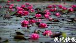 春末即景:一池睡莲始盛开 ,千娇百媚入画来