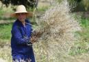 富阳:收获油菜籽