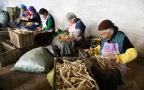 发挥桔梗产业优势 助力脱贫攻坚