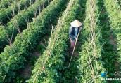 【航拍】高效菜园助力农户丰产增收