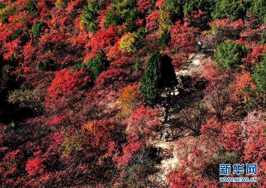 (环境)(4)红叶漫山秋意浓