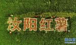 河南汝阳:红薯丰收助脱贫