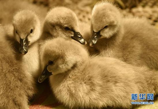 河南光山:农村养殖黑天鹅