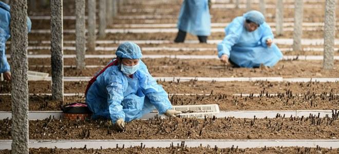 山东枣庄:黑皮鸡枞菌铺就脱贫致富路