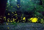 为什么淘宝要禁售萤火虫?买卖萤火虫危害有哪些?