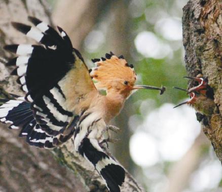 沈阳浑河水清林茂 二级保护动物戴胜鸟前来安家