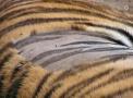 原来老虎的毛发底下皮肤长这样,剃毛后你绝对没见过