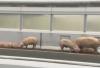 37头生猪上演公路大逃亡 致交通堵塞5小时