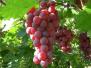 又是一年葡萄成熟季 月亮湾的葡萄等您采摘