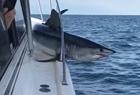 鲨鱼跳上渔船被卡