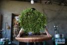 茶农展示手工制茶工艺
