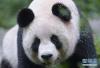 """熊猫""""汉媛""""精神萎靡?大熊猫保护研究中心调查"""