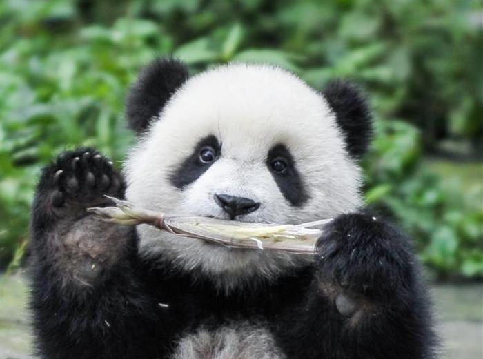 熊猫王国的震后重生