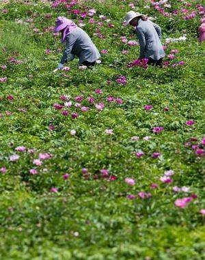 河南鲁山:芍药花开致富路