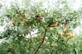 夏天到了杏儿黄了 周末可去这里采摘甜杏了