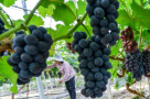 江南吐鲁番葡萄上市